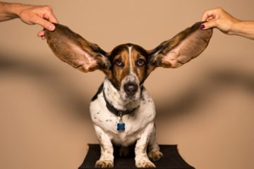 Basset hound with large ears